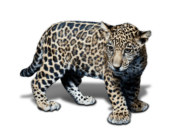 black jaguar-white tiger